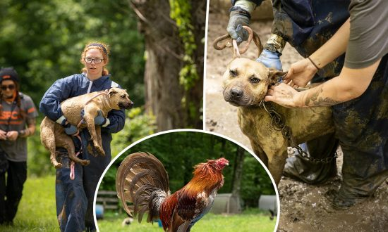 Nearly 600 Pit Bulls & Roosters Seized From Animal-Fighting Raid, Suspect in Custody