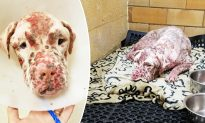 Owners Dump 'Ugly' Dog Stung by 1000s Bees, Then a Lady Sees He Is No Ordinary Dog