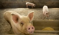 China Suspends Imports From Third Canadian Pork Company