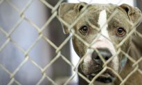 Rescuers Save the Abandoned Scared Pit Bull Using Cheeseburgers As Bait