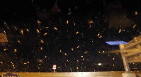 Blind mosquitoes, or aquatic midges, are seen on a windshield at New Orleans