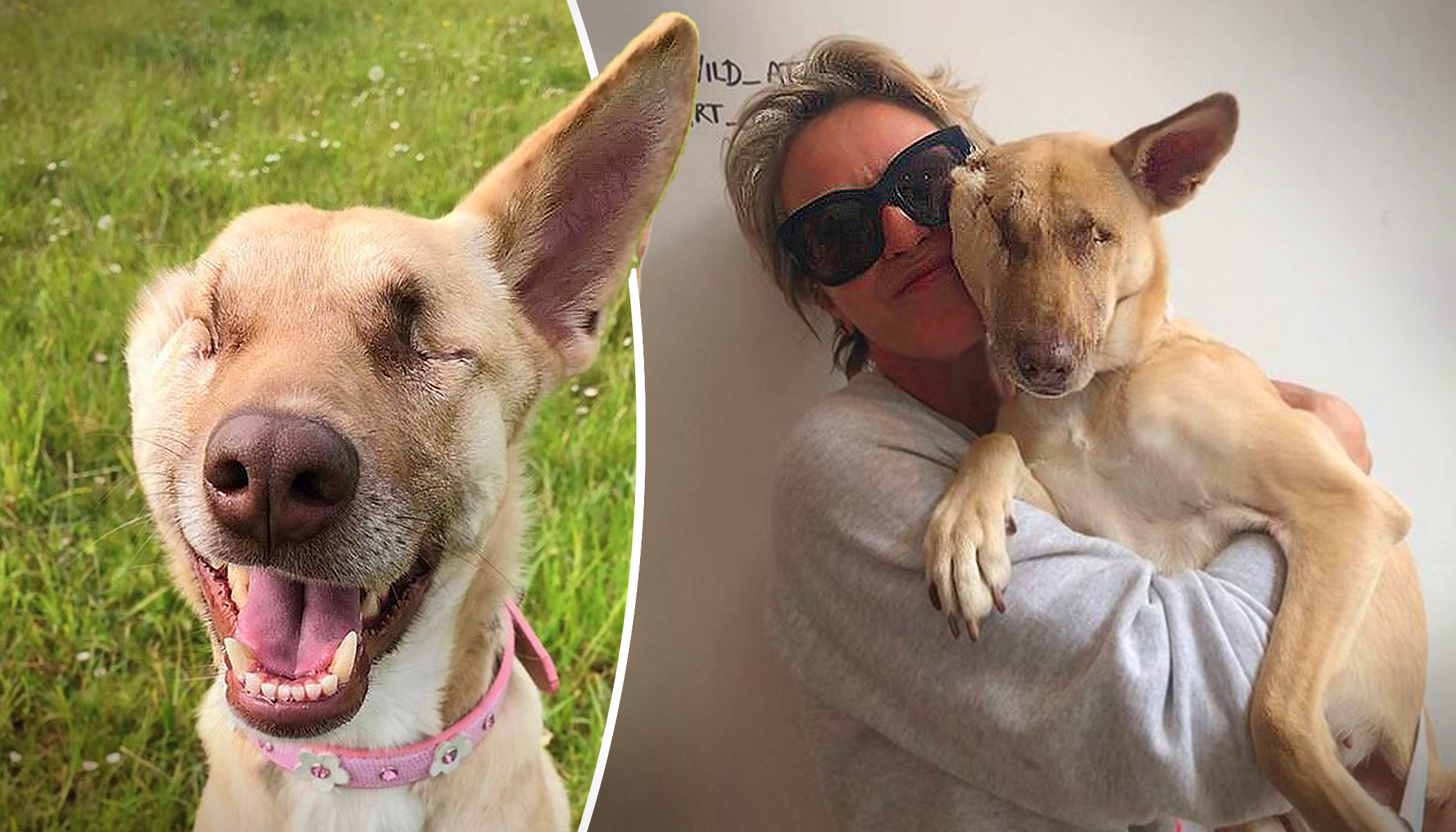 Abused Dog Was Shot 17 Times and Blinded–but She Survived and Became a Therapy Dog