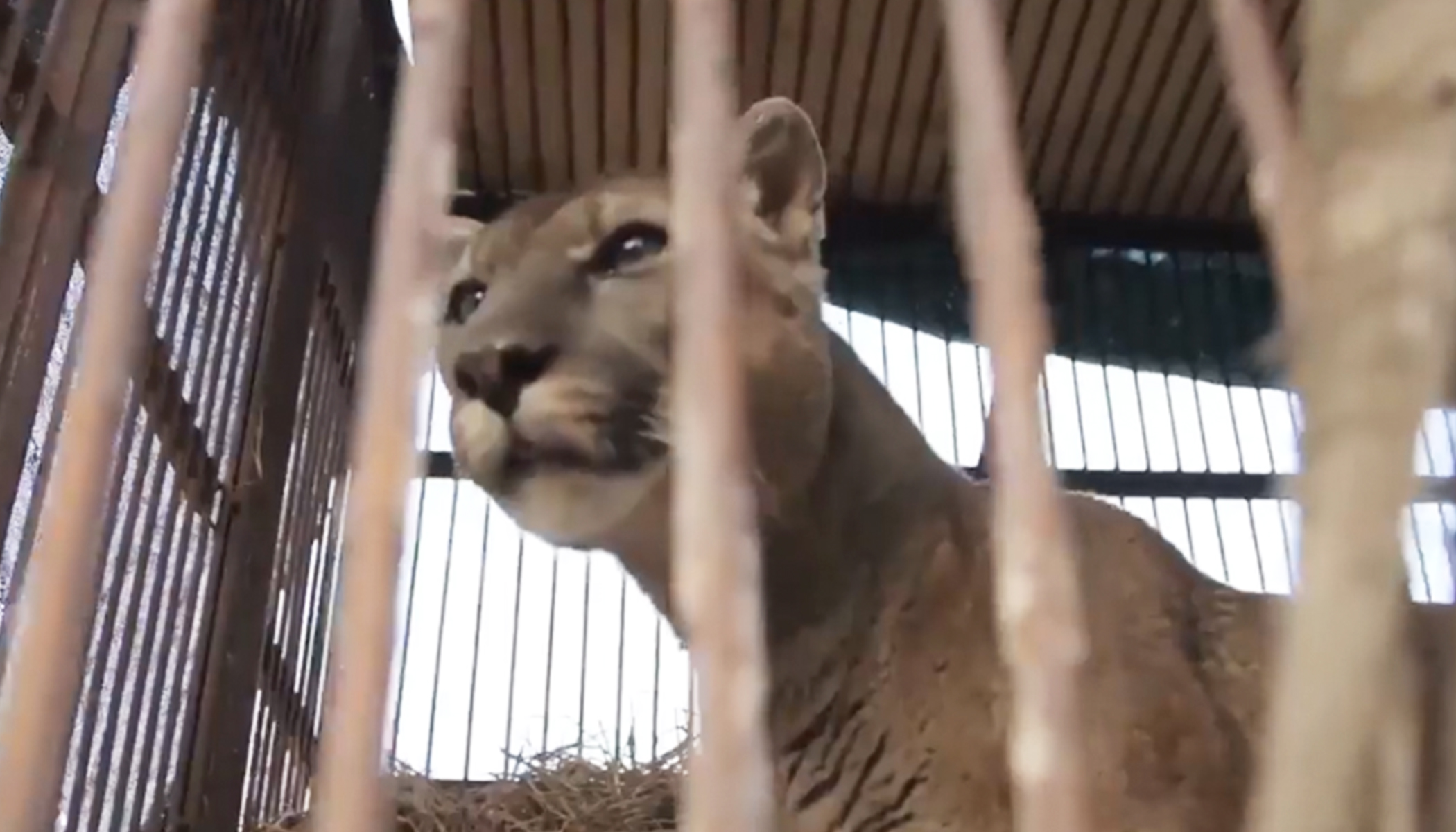 Lion Chained to Rusty Truck for 20 Years, Watch the Moment He Finally Walks Free