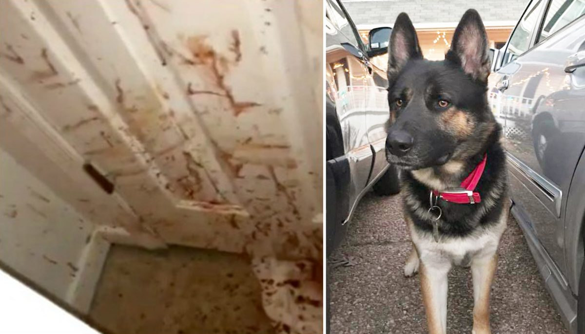 Thief breaks into house, then German shepherd 'teaches' him a serious lesson