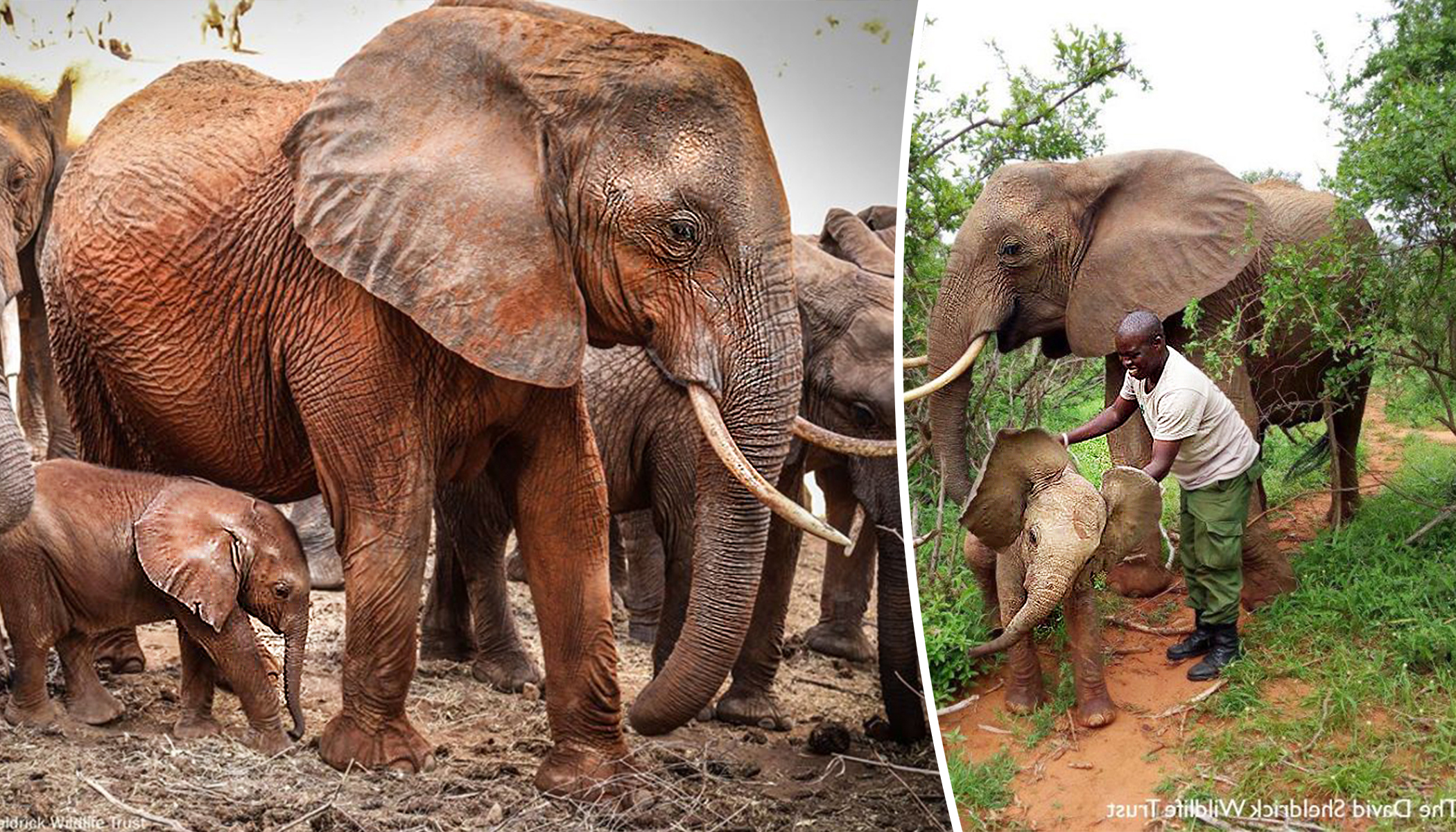 Ex-orphan Elephant Brings Her Babies on a Surprise Visit to Meet the Human Family Who Saved Her