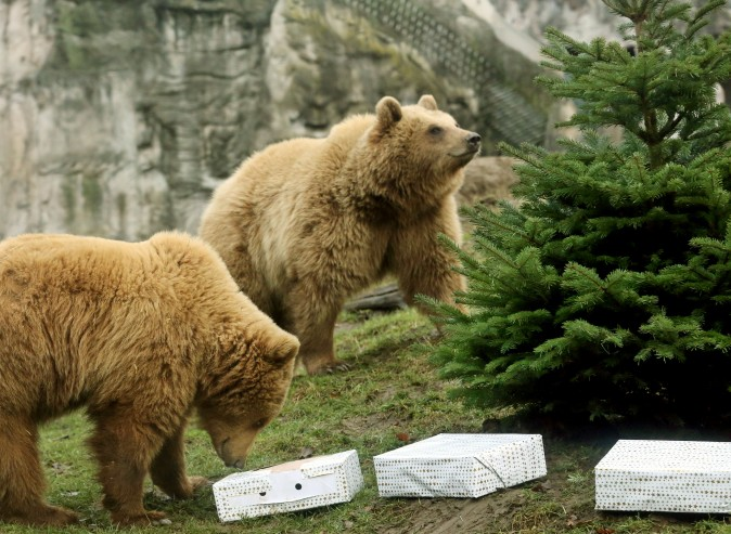 Brown bears Smilla (R) and Frida inspect their Christmas tree and presents at the Zoo in Gelsenkirchen, Germany, on Dec. 23, 2016. (Roland Weihrauch/AFP/Getty Images)
